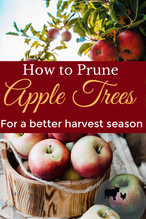 how to prune apple trees for a better harvest season
