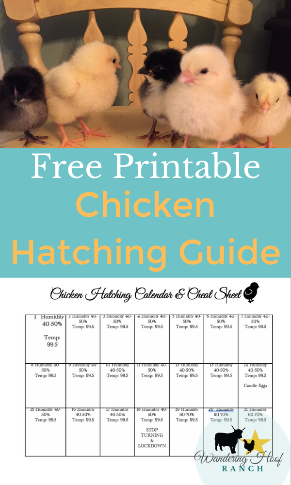 FREE PRINTABLE CHICKEN HATCHING CALENDAR AND GUIDE