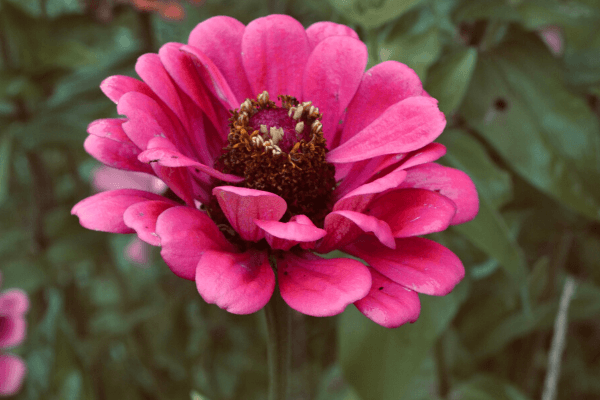 zinnia flower in garden
