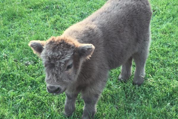 wean calves