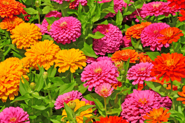 zinnias in yellow orange and pink